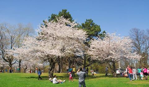 Cherry Blossoms at High Park in Toronto